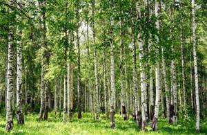 Fototapet Birch Forest