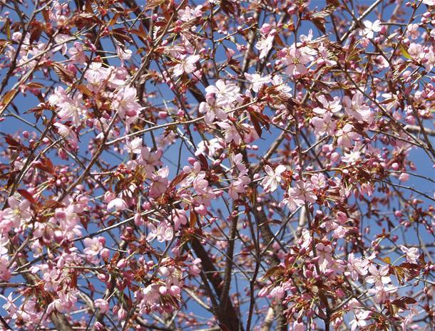 Rusokirsikka Prunus Sargentii